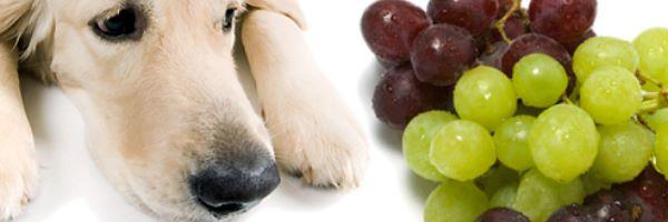 cao-uvas